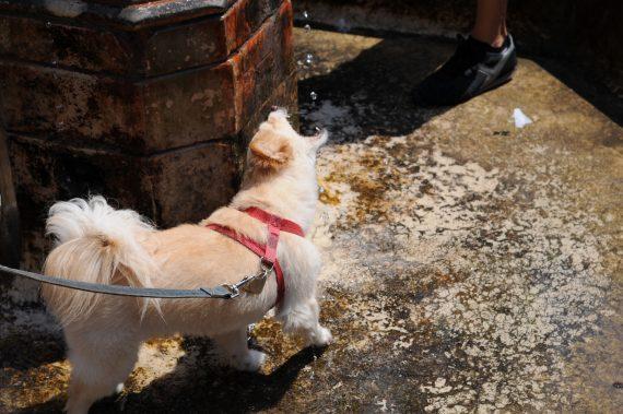 Šuo gaudo vandenį